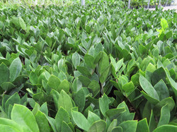 Ficus plants in Tropical Trading Greenhouse