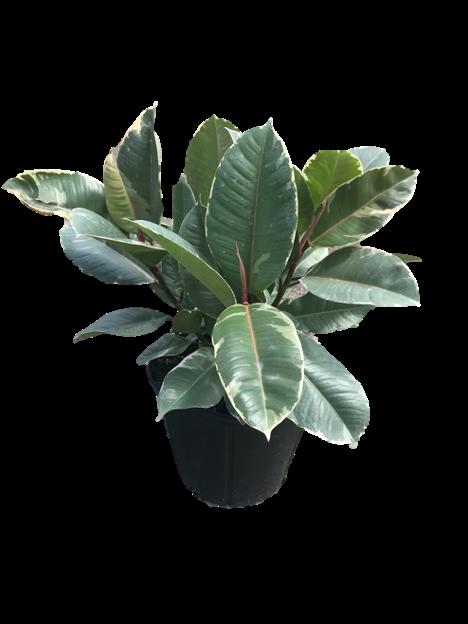 """8"""" Ficus Tineke"""