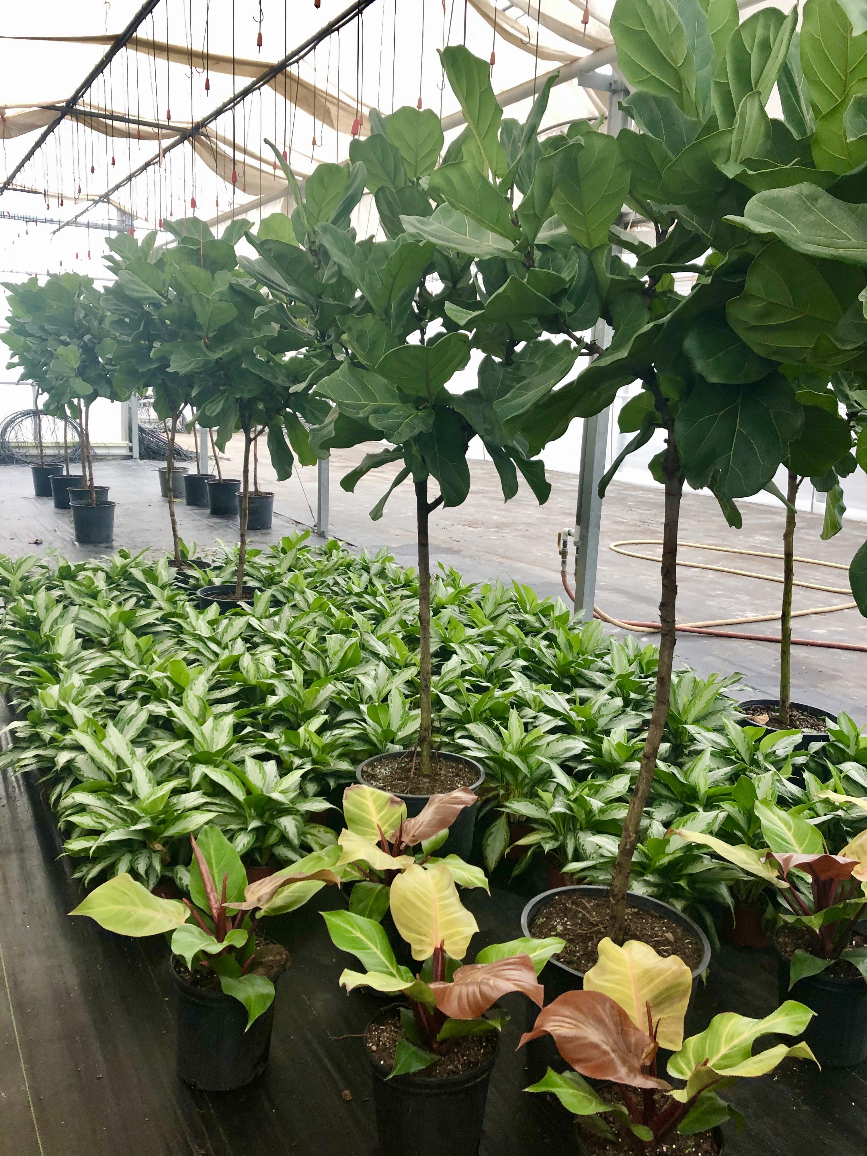 "14"" Ficus Lyrata & 10"" Philodendron"