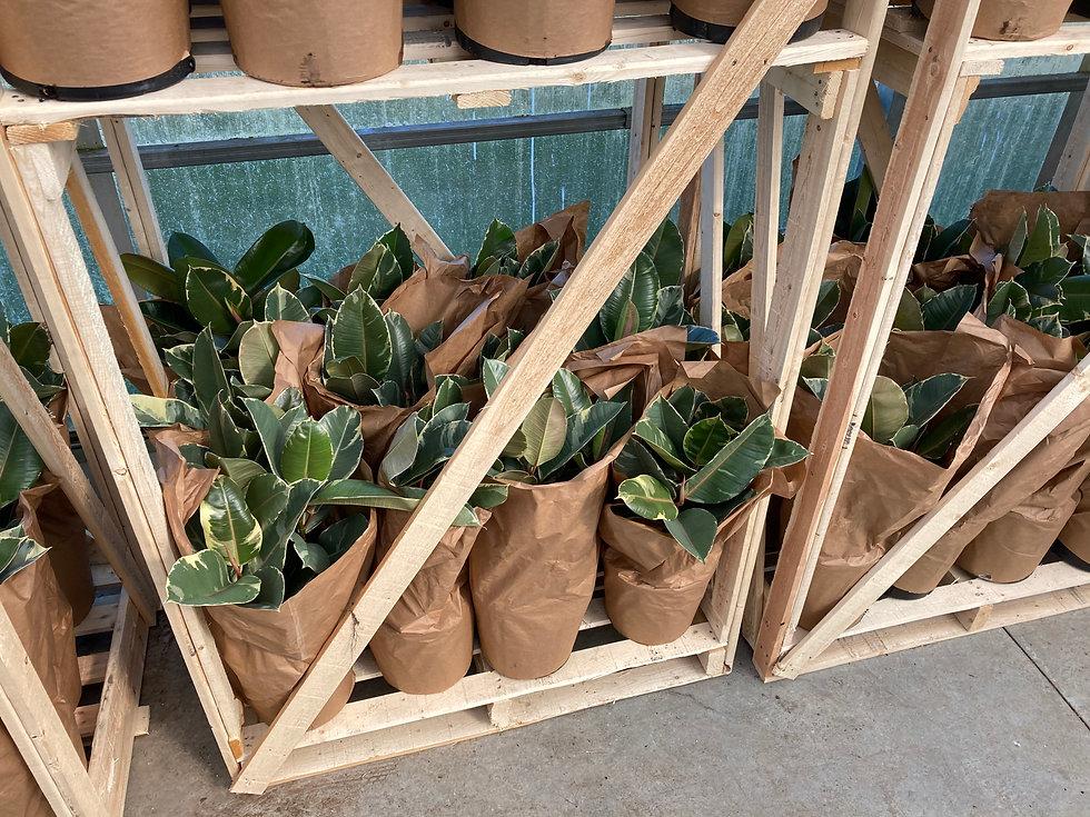 Indoor tropicals packaged on skids