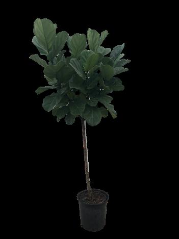"""14"""" Ficus Lyrata"""