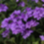 verbena_superbena-dark-blue_cropped-60.j