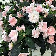 Impatiens-h.-Wild-Romance-Blush-Pink_cro