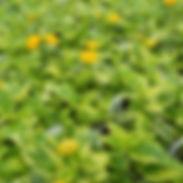 lantana-samantha_cropped-7-1-768x768.jpg