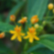 Asclepias_curassavica_Silky_Gold_cropped