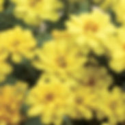 Zinnia-x-Zahara-Yellow_cropped-7.jpg