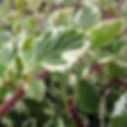Plectranthus-madagascariensis_cropped-10
