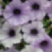 petunia-blue-vein_cropped-4.jpg