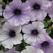petunia-blue-vein_cropped-4.jpg