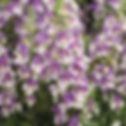 angelonia_wedgewood_blue_improved_croppe