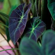 colocasiaillustris_cropped-8-2.jpg