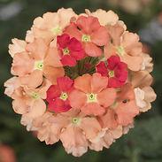 verbena-lanai-peach_cropped-54-768x768.j