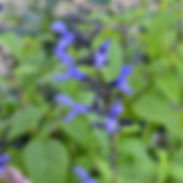 Salvia-g.-Black-Blue_cropped-11.jpg