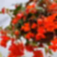 begonia-illumination-orange-square_cropp
