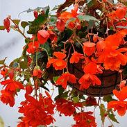 begonia-illumination-orange-square_cropp