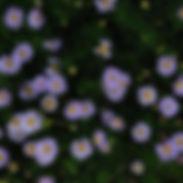 brachycome-ultra_cropped-3.jpg