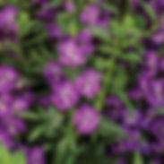 angelonia_angelface_super_blue_cropped-2