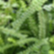 fern-nephrolepis_duffii_cropped-2.jpg