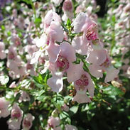 angelonia-arch-angel-light-pink-400x400.