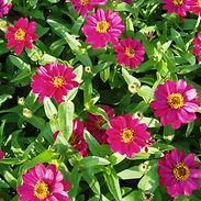 Zinnia-x-Zahara-XL-Pink_cropped-6.jpg