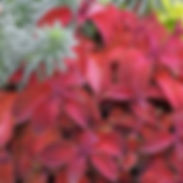 Coleus-Sunset-Wizard_cropped-42.jpg