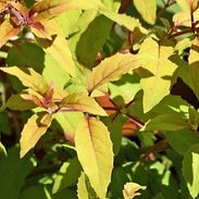 Fuchsia-m.-Aurea_cropped-1-uai-331x331.j