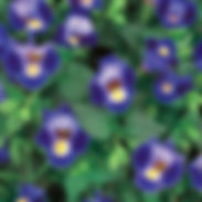 torenia-catalina-midnight-blue-400x400.j