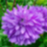 Dahlia-Bluetiful_cropped-1.jpg