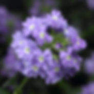 verbena-empress-violet-blue_cropped-24-6