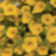 Calibrachoa-Million-Bells-Trailing-Yello