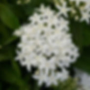Pentas-Monarch-Bright-White_cropped-8.jp