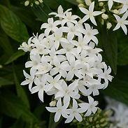 Pentas-Monarch-Bright-White_cropped-8.jp