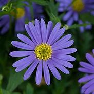 Brachyscome-multifida-Fresco-Violet_crop