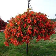 begonia-encanto-oranage_cropped-29-768x7
