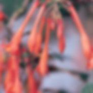 fuchsia-koralle_cropped-10.jpg