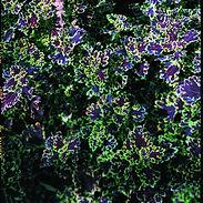 COLEUS-INKY-FINGERS_cropped-10-2.jpg