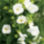 torenia-catalina-white_cropped-20.jpg