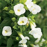 torenia-catalina-white_cropped-20.jpg