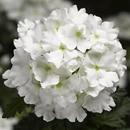 verbena-lanai-white_cropped-56-768x768.j