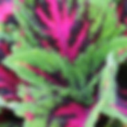 Coleus-Kong-Junior-Rose_cropped-39-768x7
