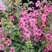 Angelonia-Angelface-Perfectly-Pink.jpg