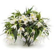 begonia-encanto-bush-white.jpg