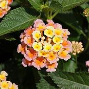 Lantana-Bandana-Peach.jpg