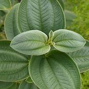 Tibouchina-grandifolia_cropped-18-768x76