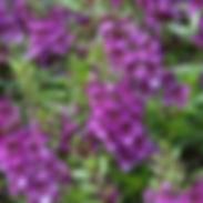 ANgelonia-Arch-angel-Dark-purple-400x400