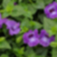 torenia-summer-wave-violet_cropped-21-76
