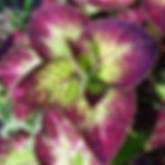 Coleus-Jade_cropped-2.jpg