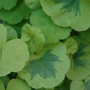 Pelargonium-x-Crystal-Palace-Gem-Fancy-L