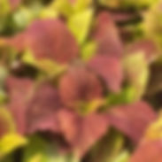 Coleus-Alabama-Sunset-Upright_cropped-6-
