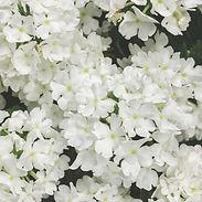 verbena-white_cropped-28.jpg